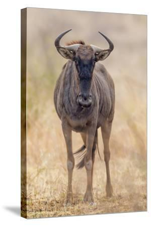 South Londolozi Private Game Reserve. Frontal View of Gnu-Fred Lord-Stretched Canvas Print