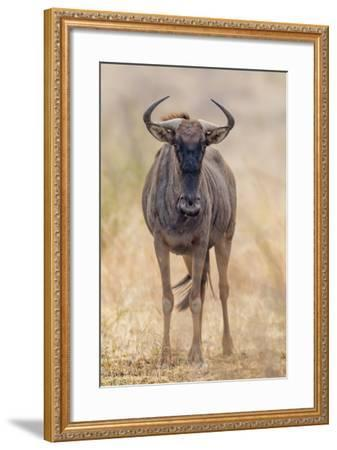 South Londolozi Private Game Reserve. Frontal View of Gnu-Fred Lord-Framed Photographic Print