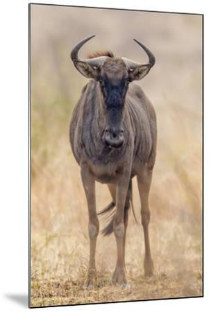 South Londolozi Private Game Reserve. Frontal View of Gnu-Fred Lord-Mounted Photographic Print
