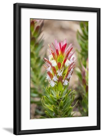 South Cape Town. Protea Flower Close-up-Fred Lord-Framed Photographic Print