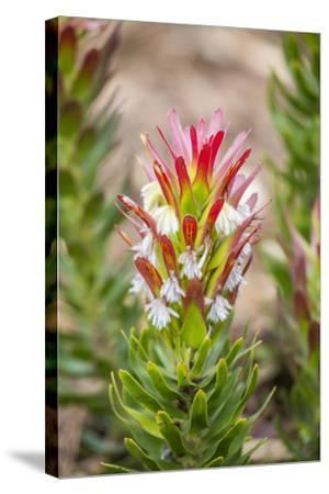 South Cape Town. Protea Flower Close-up-Fred Lord-Stretched Canvas Print