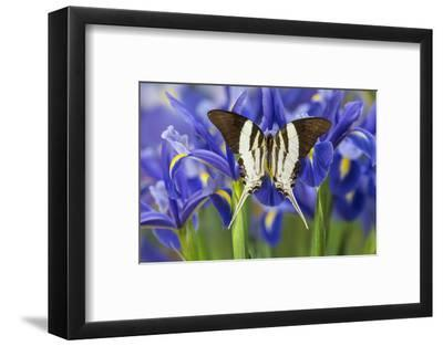 Graphium Dorcus Butungensis or the Tabitha's Swordtail Butterfly-Darrell Gulin-Framed Photographic Print