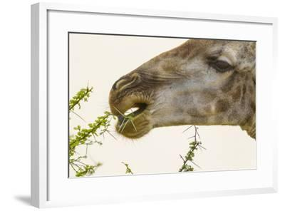 South Londolozi Reserve. Close-up of Giraffe Feeding on Acacia Leaves-Fred Lord-Framed Photographic Print