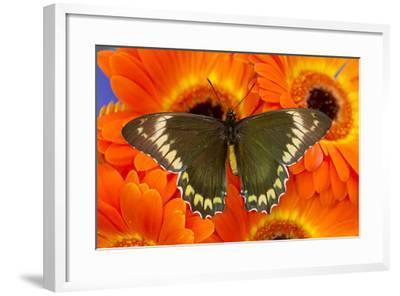 Madyes Swallowtail Butterfly, Battus Madyes Buechi Wings Open-Darrell Gulin-Framed Photographic Print