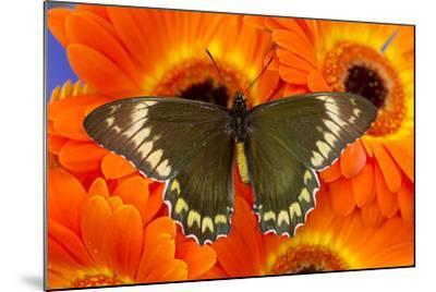 Madyes Swallowtail Butterfly, Battus Madyes Buechi Wings Open-Darrell Gulin-Mounted Photographic Print