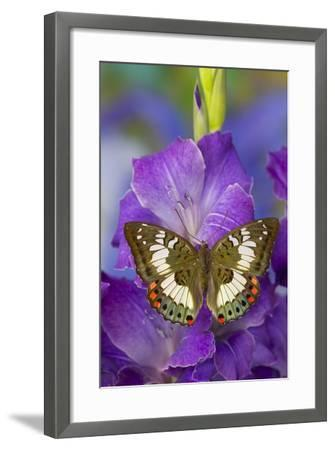 Butterfly Female Euthalia Adonia in the Nymphalidae Family-Darrell Gulin-Framed Photographic Print