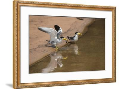 Large-Billed Tern, Northern Pantanal, Mato Grosso, Brazil-Pete Oxford-Framed Photographic Print