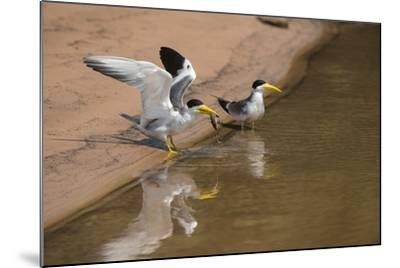 Large-Billed Tern, Northern Pantanal, Mato Grosso, Brazil-Pete Oxford-Mounted Photographic Print