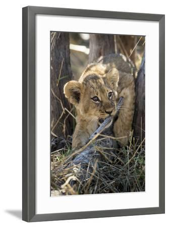 Botswana, Chobe NP, Lion Cub Chewing Stick under an Acacia Tree-Paul Souders-Framed Photographic Print
