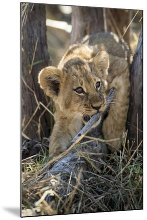 Botswana, Chobe NP, Lion Cub Chewing Stick under an Acacia Tree-Paul Souders-Mounted Photographic Print