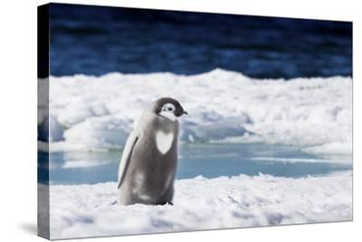 Cape Washington, Antarctica. An Emperor Penguin Chick with Heart-Janet Muir-Stretched Canvas Print