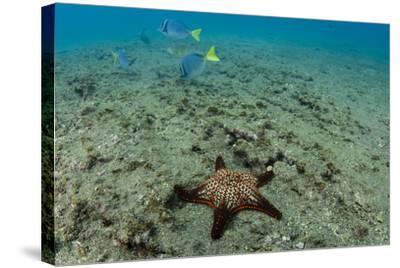 Panamic Cushion Star, Galapagos Islands, Ecuador-Pete Oxford-Stretched Canvas Print