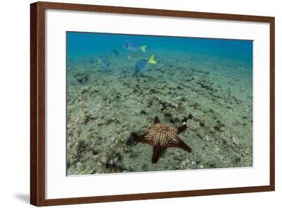 Panamic Cushion Star, Galapagos Islands, Ecuador-Pete Oxford-Framed Photographic Print