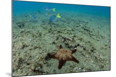 Panamic Cushion Star, Galapagos Islands, Ecuador-Pete Oxford-Mounted Photographic Print