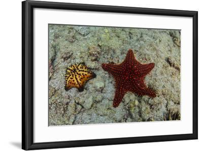 Chocolate Chip Starfish and Panamic Cushion Star, Galapagos, Ecuador-Pete Oxford-Framed Photographic Print