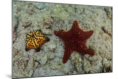 Chocolate Chip Starfish and Panamic Cushion Star, Galapagos, Ecuador-Pete Oxford-Mounted Photographic Print