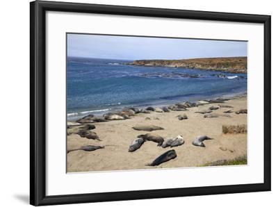 Elephant Seals, Piedras Blancas, San Simeon, California-Peter Bennett-Framed Photographic Print