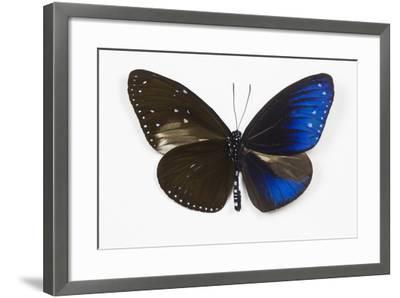 Striped Blue Crow Butterfly, Comparing to Wing and Bottom Wing-Darrell Gulin-Framed Photographic Print