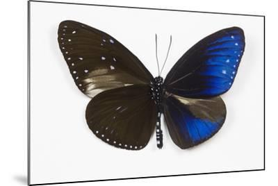 Striped Blue Crow Butterfly, Comparing to Wing and Bottom Wing-Darrell Gulin-Mounted Photographic Print