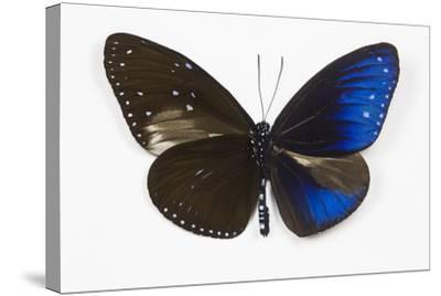 Striped Blue Crow Butterfly, Comparing to Wing and Bottom Wing-Darrell Gulin-Stretched Canvas Print