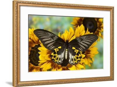 Rippon's Birdwing Butterfly, Female, Troides Hypolitus-Darrell Gulin-Framed Photographic Print