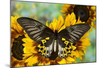 Rippon's Birdwing Butterfly, Female, Troides Hypolitus-Darrell Gulin-Mounted Photographic Print