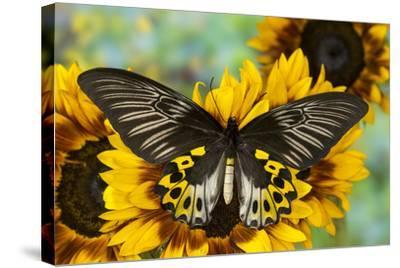 Rippon's Birdwing Butterfly, Female, Troides Hypolitus-Darrell Gulin-Stretched Canvas Print