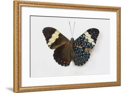 Cracker Butterfly or the Arinome Cracker, Comparison of Wings-Darrell Gulin-Framed Photographic Print