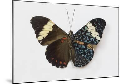 Cracker Butterfly or the Arinome Cracker, Comparison of Wings-Darrell Gulin-Mounted Photographic Print