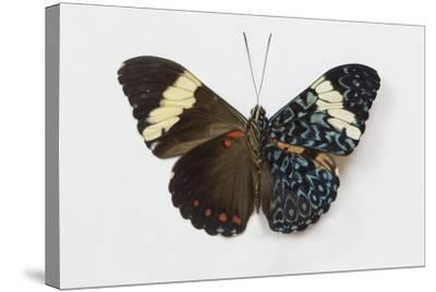 Cracker Butterfly or the Arinome Cracker, Comparison of Wings-Darrell Gulin-Stretched Canvas Print