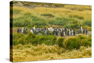 Chile, Patagonia, Tierra del Fuego. King Penguin Colony-Cathy & Gordon Illg-Stretched Canvas Print