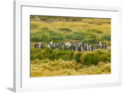 Chile, Patagonia, Tierra del Fuego. King Penguin Colony-Cathy & Gordon Illg-Framed Photographic Print
