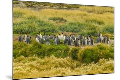 Chile, Patagonia, Tierra del Fuego. King Penguin Colony-Cathy & Gordon Illg-Mounted Photographic Print