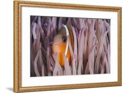Fiji Anemone Fish Sheltering in Host Anemone for Protection, Fiji-Pete Oxford-Framed Photographic Print