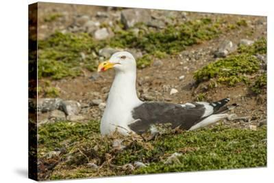 Chile, Patagonia, Isla Magdalena. Kelp Gull Adult on Nest-Cathy & Gordon Illg-Stretched Canvas Print