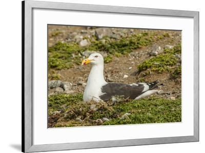 Chile, Patagonia, Isla Magdalena. Kelp Gull Adult on Nest-Cathy & Gordon Illg-Framed Photographic Print