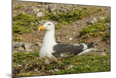 Chile, Patagonia, Isla Magdalena. Kelp Gull Adult on Nest-Cathy & Gordon Illg-Mounted Photographic Print