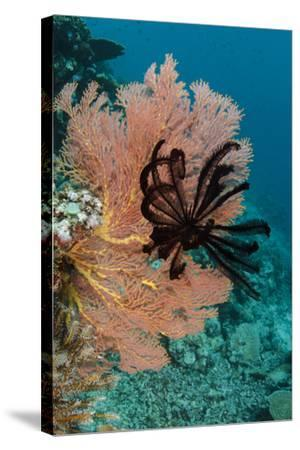 Sea Fan (Gorgonia) and Feather Star (Crinoidea), Rainbow Reef, Fiji-Pete Oxford-Stretched Canvas Print