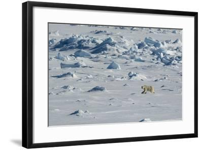 Norway. Svalbard. Hinlopen Strait. Polar Bear Walking on the Drift Ice-Inger Hogstrom-Framed Photographic Print