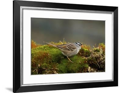 The White-Crowned Sparrow, Native to North America-Richard Wright-Framed Photographic Print