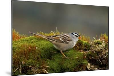 The White-Crowned Sparrow, Native to North America-Richard Wright-Mounted Photographic Print