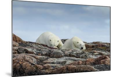 Canada, Nunavut, Repulse Bay, Two Polar Bears Resting Along a Ridge-Paul Souders-Mounted Photographic Print