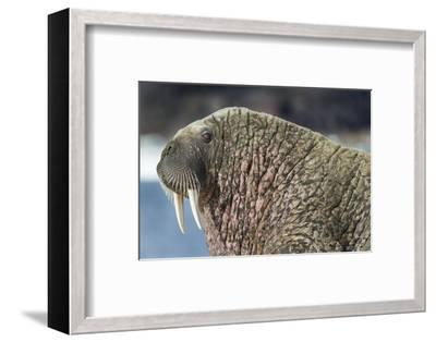 Canada, Nunavut Territory, Walrus Near Arctic Circle on Hudson Bay-Paul Souders-Framed Photographic Print