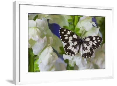 The Marbled White Butterfly, Melanargia Galathea from Europe-Darrell Gulin-Framed Photographic Print