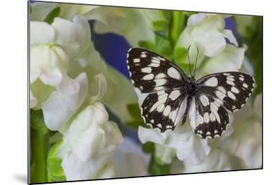 The Marbled White Butterfly, Melanargia Galathea from Europe-Darrell Gulin-Mounted Photographic Print