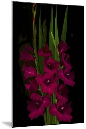 Red Gladiola-Anna Miller-Mounted Photographic Print