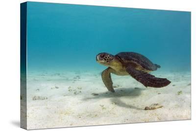 Galapagos Green Sea Turtle Underwater, Galapagos Islands, Ecuador-Pete Oxford-Stretched Canvas Print