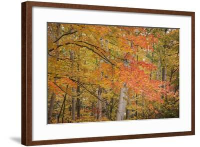 USA, Michigan, Upper Peninsula. Red Maple Trees in Autumn Color-Don Grall-Framed Photographic Print