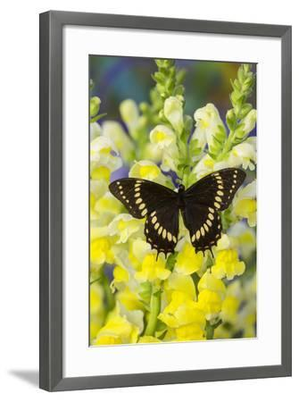 Scamander Swallowtail Butterfly from Brazil, Papilio Scamander-Darrell Gulin-Framed Photographic Print