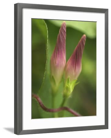 Morning Glory-Anna Miller-Framed Photographic Print